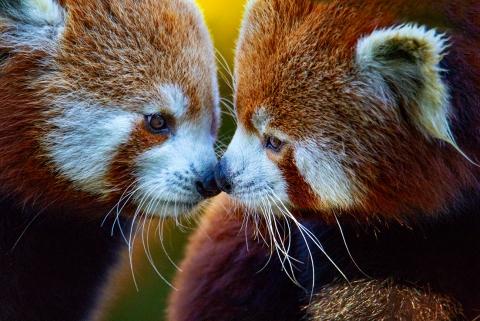 Emily red panda_0731ret 50x70